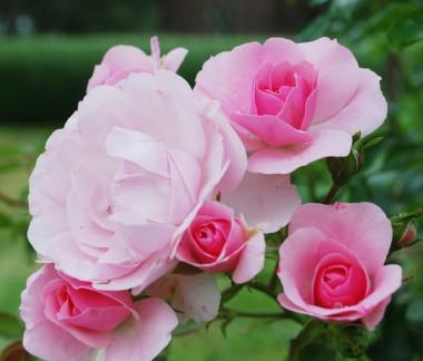 Троянда плетиста Climbing Bonica 98 фото