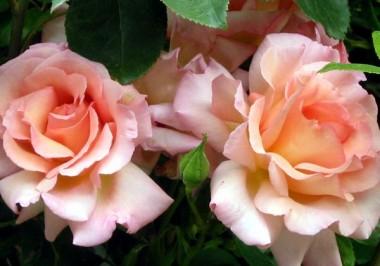 Троянда Compassion фото цена