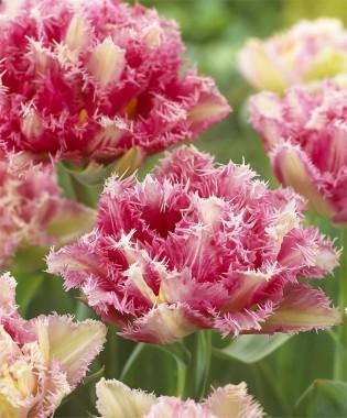 Тюльпан Cool Crystal фото цена