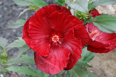 Гібіскус садовий Cranberry Crush смотреть