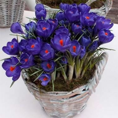 Крокус Flower Record фото цена