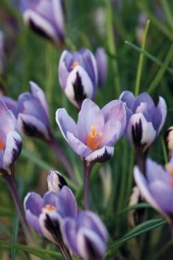 Крокус Spring Beauty интернет-магазин