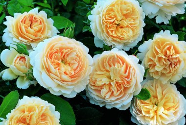 Троянда Crocus Rose смотреть