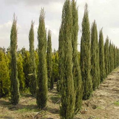 Кипарис вічнозелений почтой