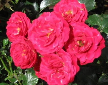 Троянда Dacapo интернет-магазин