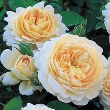 Троянда Emanuel фото цена