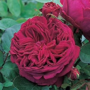 Троянда Falstaff (плетиста) описание