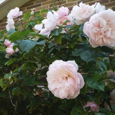 Троянда Generous Gardener (плетиста) смотреть