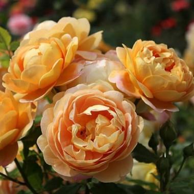 Троянда Golden Celebration почтой