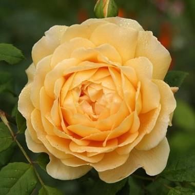 Троянда Golden Celebration фото цена