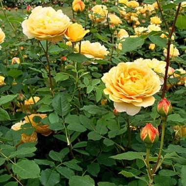 Троянда Golden Celebration в киеве