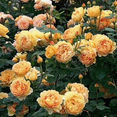 Троянда Golden Celebration фото