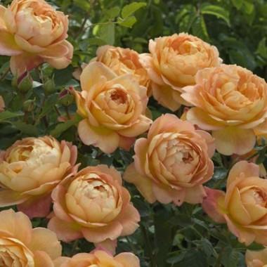 Троянда Lady of Shalott фото