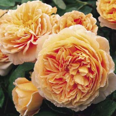 Троянда Crown Princess Margareta фото