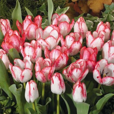 Тюльпан Denise описание