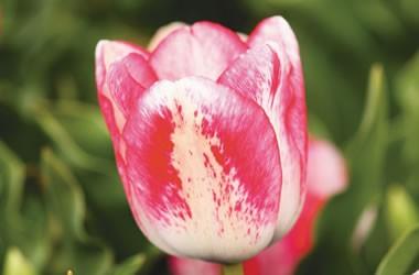 Тюльпан Denise почтой