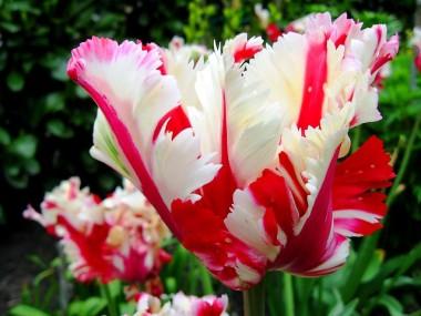 Папугові тюльпани