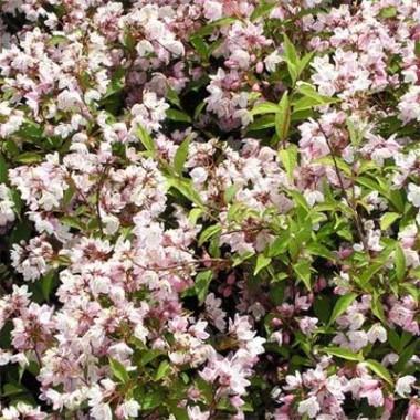 Дейція Kalmiiflora описание