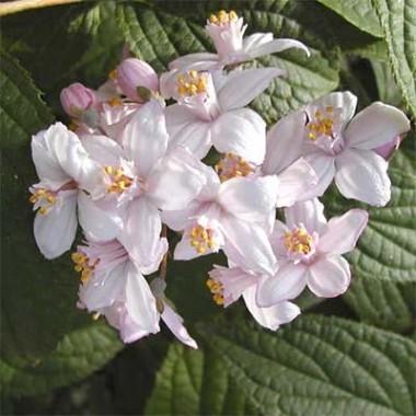 Дейція Kalmiiflora фото цена