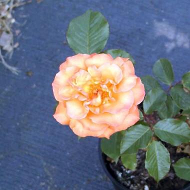 Троянда Doris Tijsterman в киеве