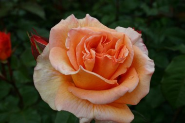 Троянда Doris Tijsterman купить онлайн
