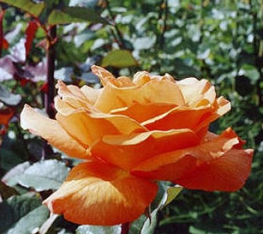 Троянда Doris Tijsterman описание