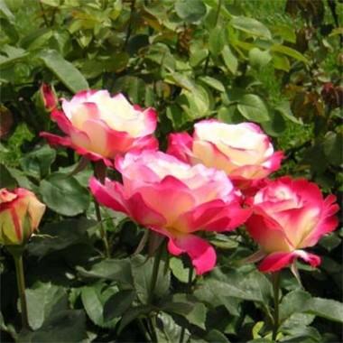 Троянда Double Delight интернет-магазин