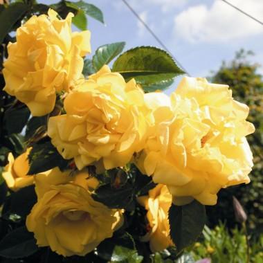 Троянда плетиста Dukat фото цена