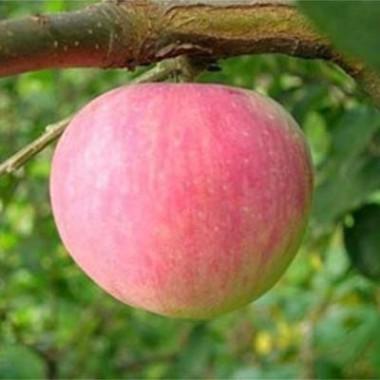 Яблуня Ерлі Женева почтой