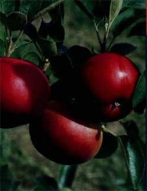 Саджанці яблуні купить