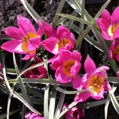 Тюльпан Eastern Star почтой