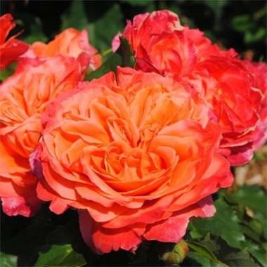 Троянда Emillen Guillot почтой