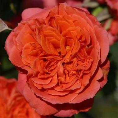 Троянда Emillen Guillot смотреть