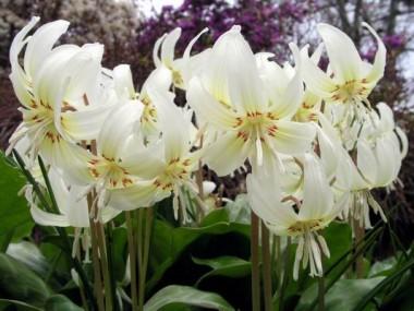 Еритроній White Beauty фото цена