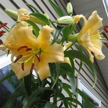 Лілія Eudoxia фото цена