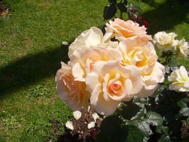 Троянда Susan Daniel купить онлайн