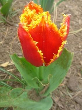 Тюльпан Fabio купить онлайн