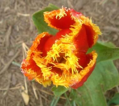 Оторочені тюльпани