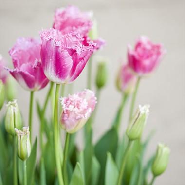 Тюльпан Fancy Frills купить онлайн