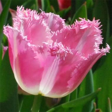 Тюльпан Fancy Frills в киеве
