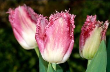 Тюльпан Fancy Frills фото