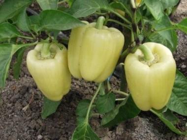 Насіння овочів