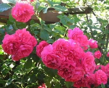 Троянда Rosarium Uetersen смотреть