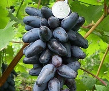 Виноград Одеський сувенір смотреть