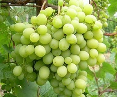 Виноград  Мускат Жемчужний смотреть