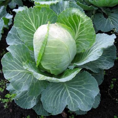 Насіння овочів купить