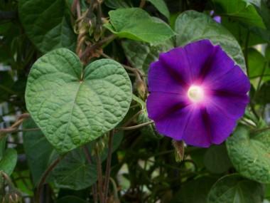 Іпомея пурпурна фото