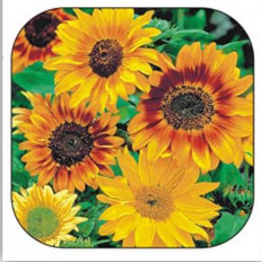 Соняшник Осіннє сяйво суміш купить онлайн