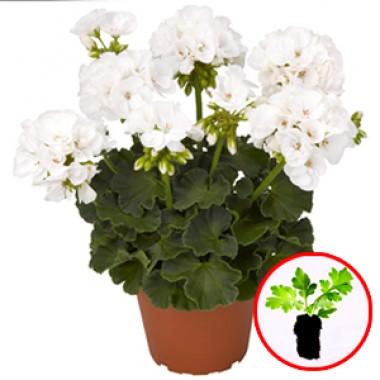 Пеларгонія Pelargonium Survivor White описание