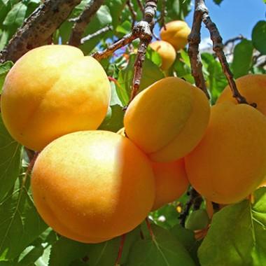 Саджанці абрикосу купить
